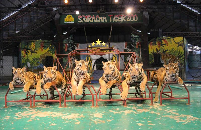 sriracha-tiger-zoo-02